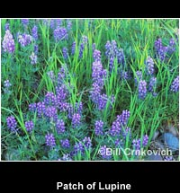 Patch of Lupine